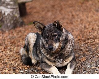 One eyed mongrel dog