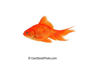 One fantail goldfish