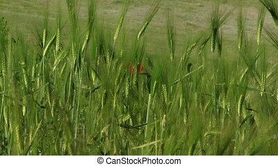 One flower in a field of wheat