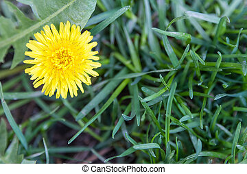 One flower of a yellow dandelion