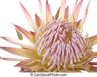 Protea - One flower of Protea. Isolated on white background