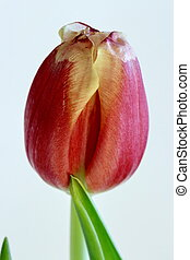 One flower of red tulip