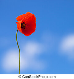 One flower of wild red poppy on blue sky background - 1 to 1 ratio
