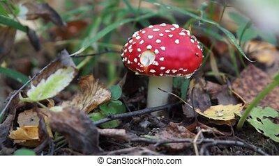 One fly agaric mushroom