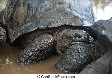 One Giant Turtle on Seychelles, Indian Ocean, Africa