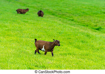 one goatling eating of green grass at farm