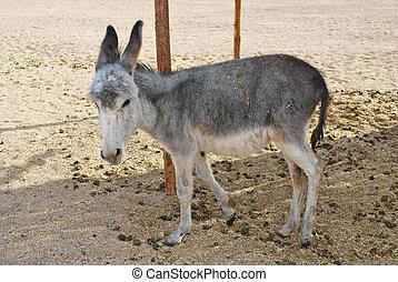 donkey - one gray donkey in desert and sand