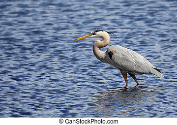 Great Blue Heron hunting in a saltwater marsh with blue water