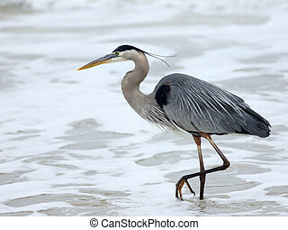 One Great Blue Heron walking in the surf