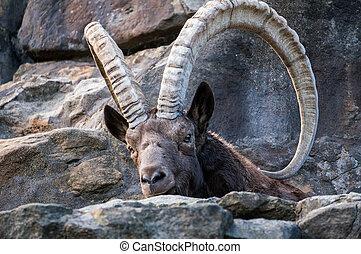 One great Siberian ibex