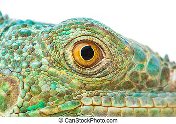 one green iguana