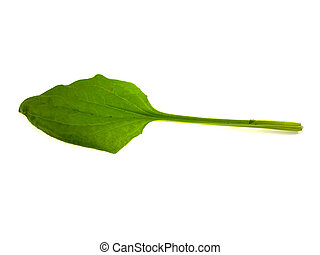One green leaf of a plantain
