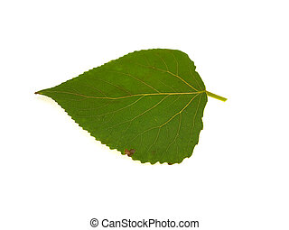 One green leaf of a poplar