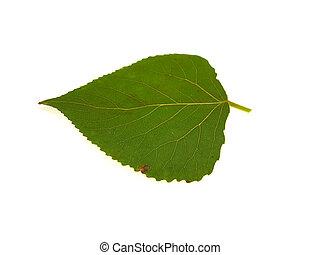 One green leaf of a poplar