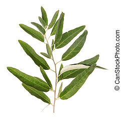 One green olive branch
