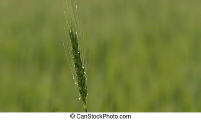 One green spike of wheat swaying in the wind. - One green...