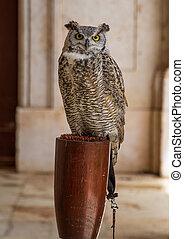 owl in captivity