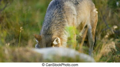 One grey wolf walking in the forest looking for food