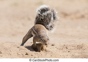 One Ground Squirrel looking for food in dry Kalahari sand artistic conversion