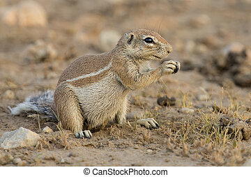 One Ground Squirrel looking for food in dry Kalahari sand