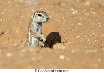One Ground Squirrel looking out from its burrow in dry Kalahari sand