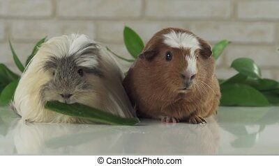 One guinea pig eating cucumber and second thought - One...