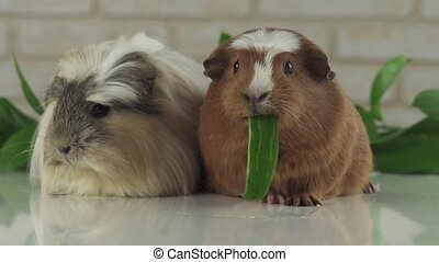 One guinea pig eating cucumber