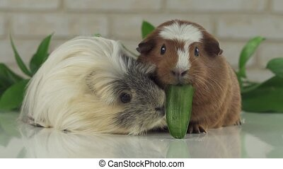 One guinea pig robs another cucumber struggle for survival...