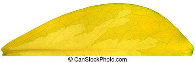 Malabar Chestnut Tree - One half of a yellow Malabar...