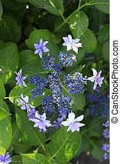 (one, hortensja, niebieskawy, purple)