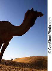 One-humped camel in bright sun of the desert and the dunes....