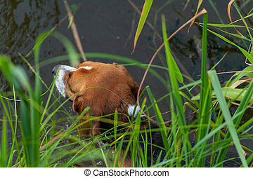 One hunting brown or golden dog's head in the water of forrest lake in thickets of reeds, top view