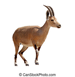 Ibex Mountain goat isolated on white background