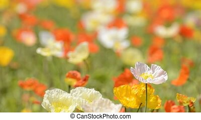 One iceland poppy flower with flower blurs swaying in the...