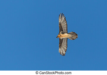 isolated bearded vulture (gypaetus barbatus) flying in blue ...