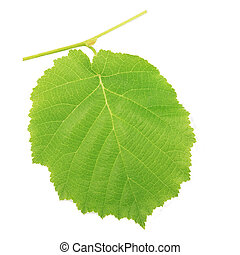 One kiwi leaf isolated on white background