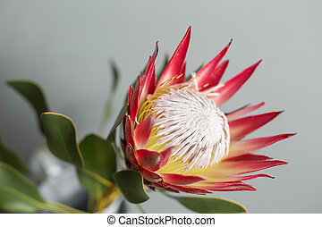 One large flower King Protea. Grows in South Africa. Gray...