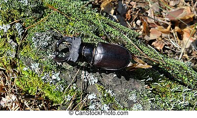 one large insect beetle stag sits on the bark of a tree
