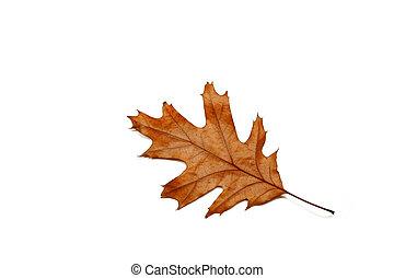 One Leaf - Dried oak leaf against a white background