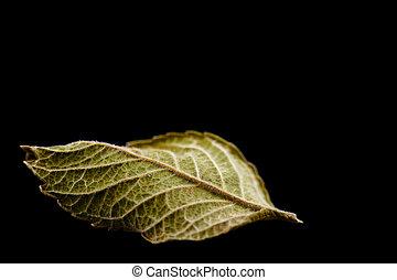 one leaf - single green leaf isolated on black background