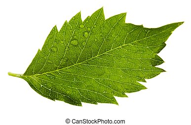 one leaf  of grape on a white background