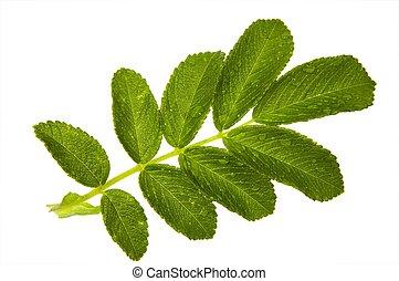 one leaf  on a white background