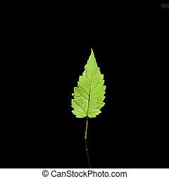 one leaf on black background