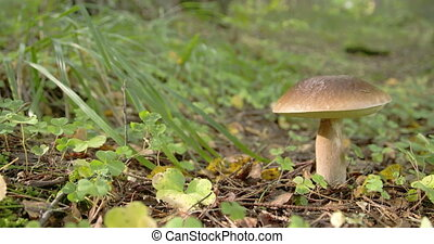 One Leccinum mushroom with golden brown in color FS700 4K -...