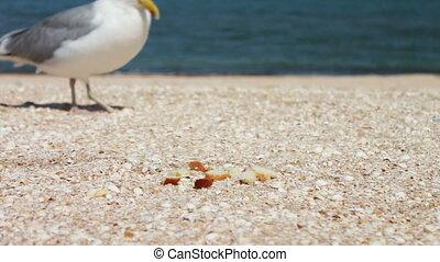 One-legged gull eats bread, food on the beach. Very largly.