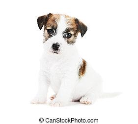 one little jack russel terrier puppy