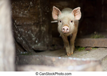 One little scared pig at farm - One little scared piglet at...