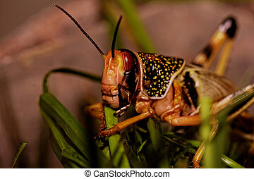 one locust eating the grass in the nature