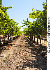 One long row in a California vineyard