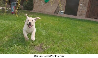 One lovely puppy dog Labrador running to the camera outdoor ...
